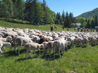 Transhumance au Mont Aigoual